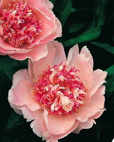 Корончатый цветок