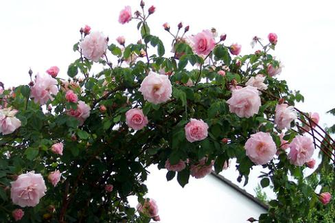 Клаймбер роза что это такое