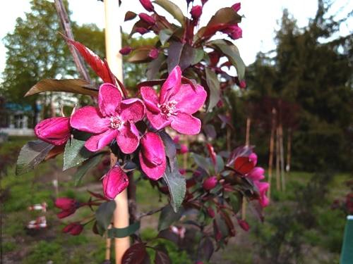 Комнатный цветок Абутилон: виды, уход, фото