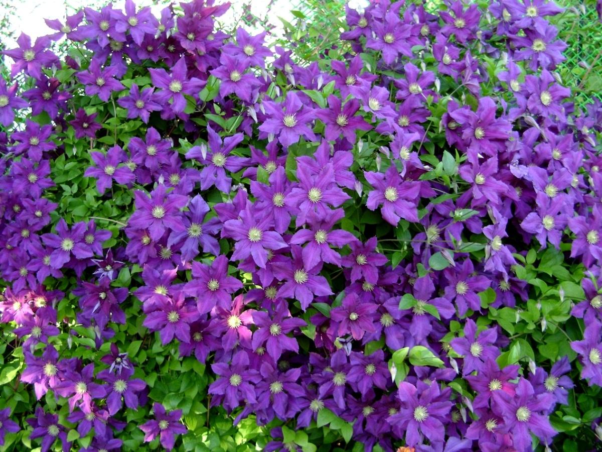 Цветы вьюны многолетние с