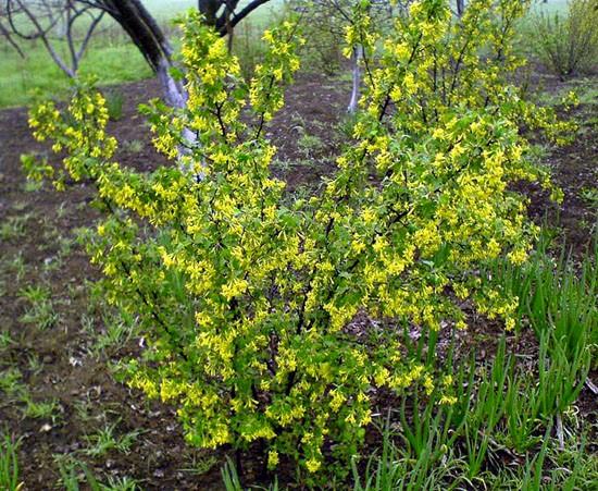 Садовые кустарники с желтыми цветами
