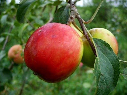 Яблоня вэм сувенир купить